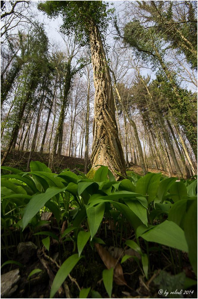 Bärlauch-Dschungel
