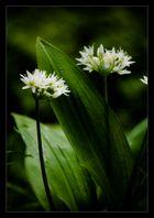 Bärlauch mit offener Blüte
