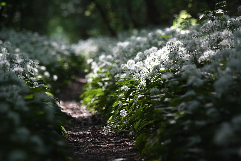 Bärlauchallee (mit Blüten)