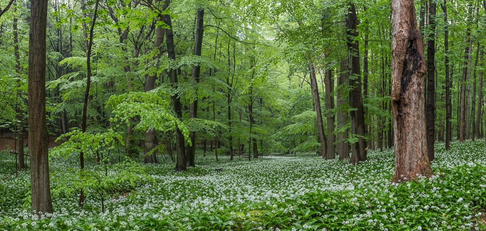Bärlauchblütenpanorama