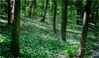 Bärlauchplantage im Wienerwald