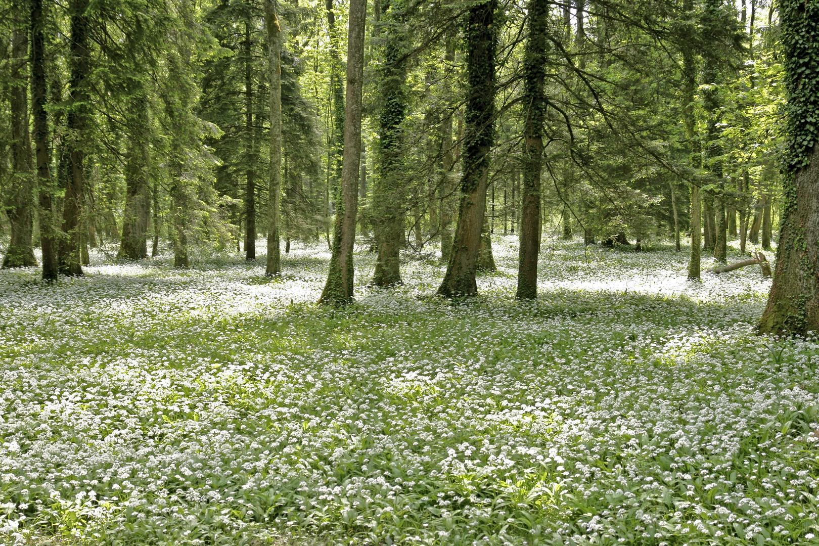 Bärlauchwiese im Wald