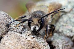 Bärtige Sandbiene (Andrena barbilabris)
