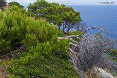 Bäume an der Küste CapdePera
