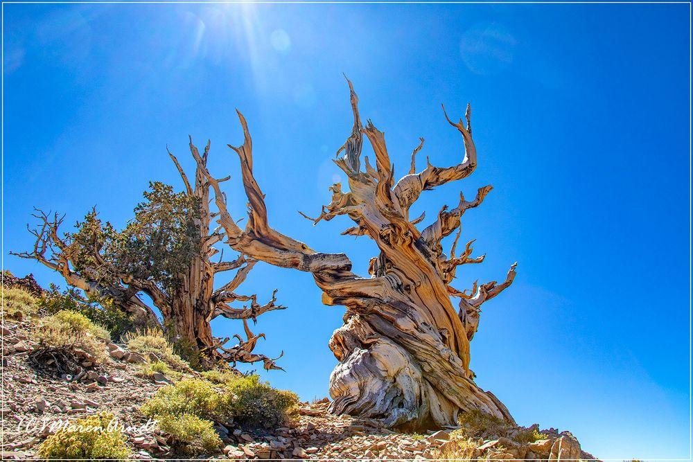 Bäume - Ancient Bristlecone