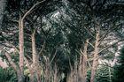 Bäume des Nationalparks auf den Brijuni-Inseln