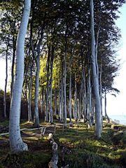 Bäume entlang der Steilküste