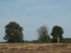 Bäume im Hoge Veluwe Nationalpark/NL
