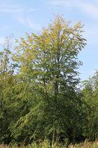 Bäume in Bad Bevensen (Alter Mühlenweg)