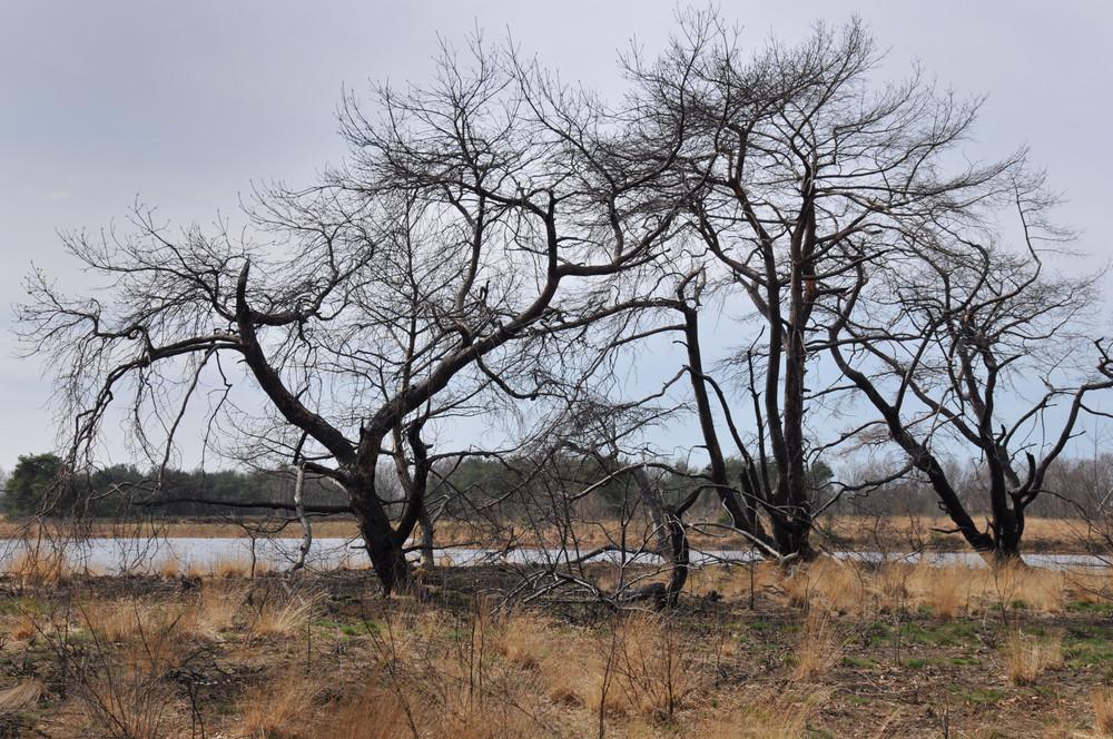 Bäume in der Heidelandschaft