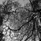 Bäume S/W