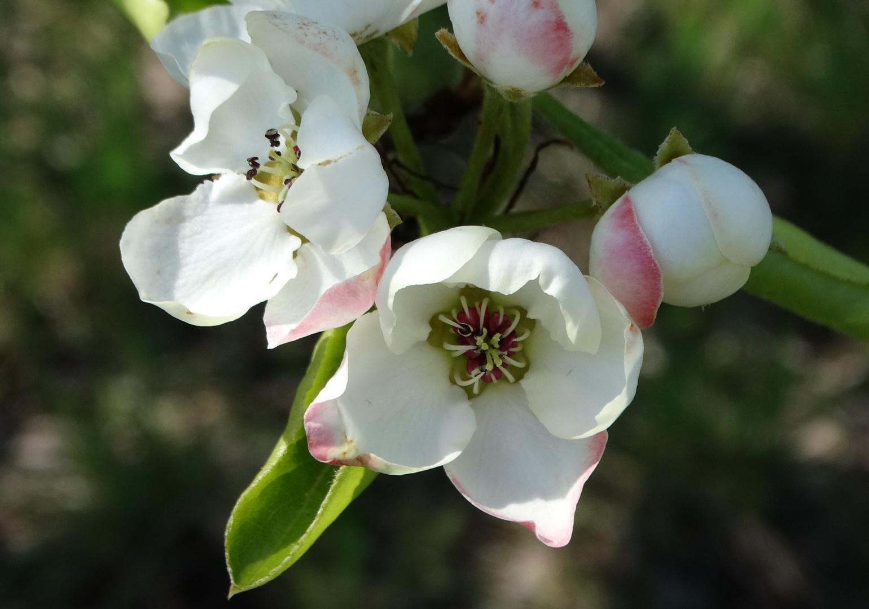 bäume und blumen 23 birnblüte foto  bild  natur