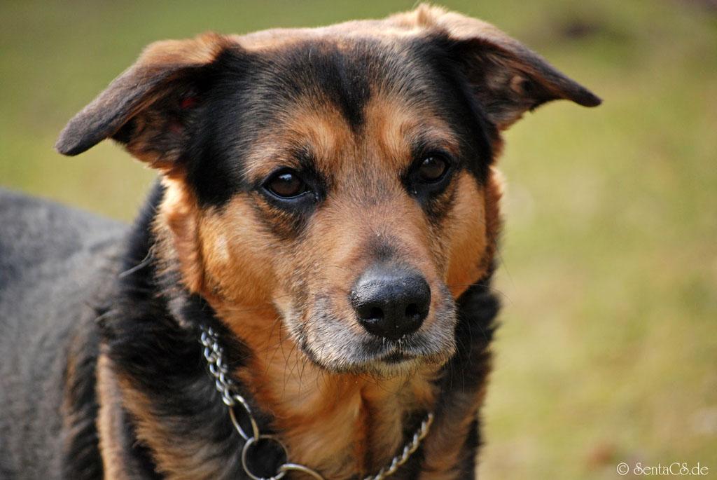 Bailey - Hunde Portrait