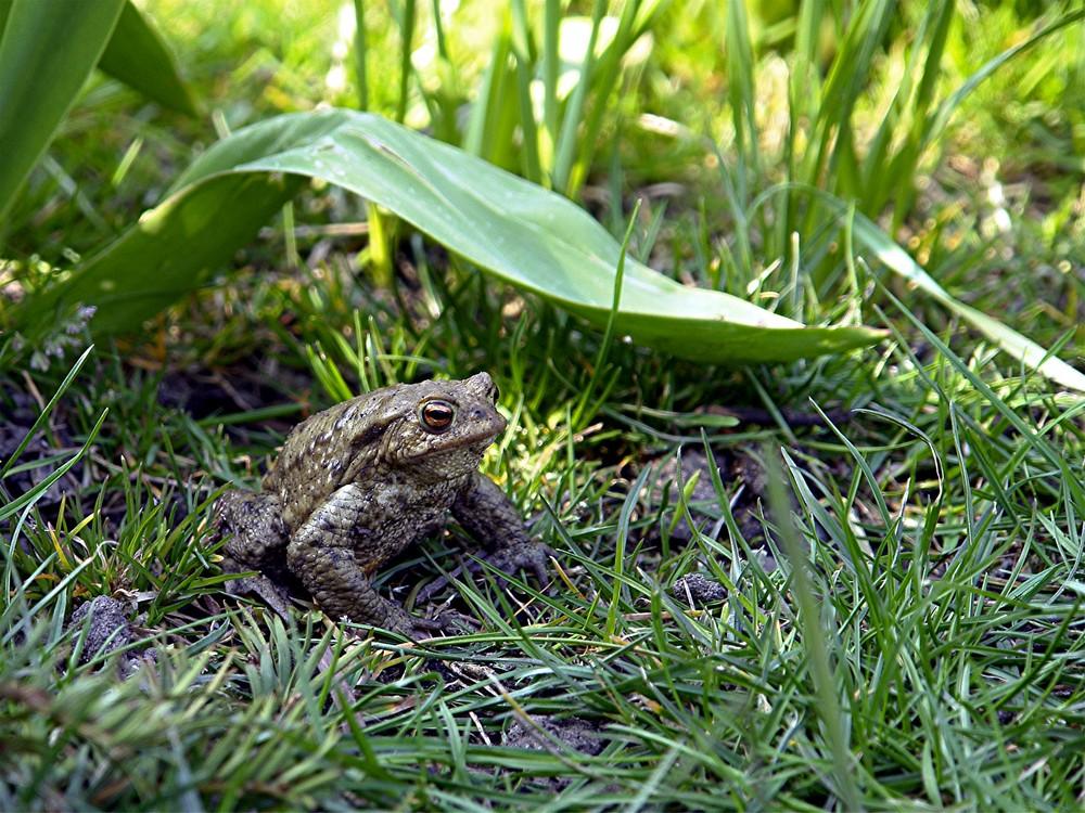 Baileys - The Frog