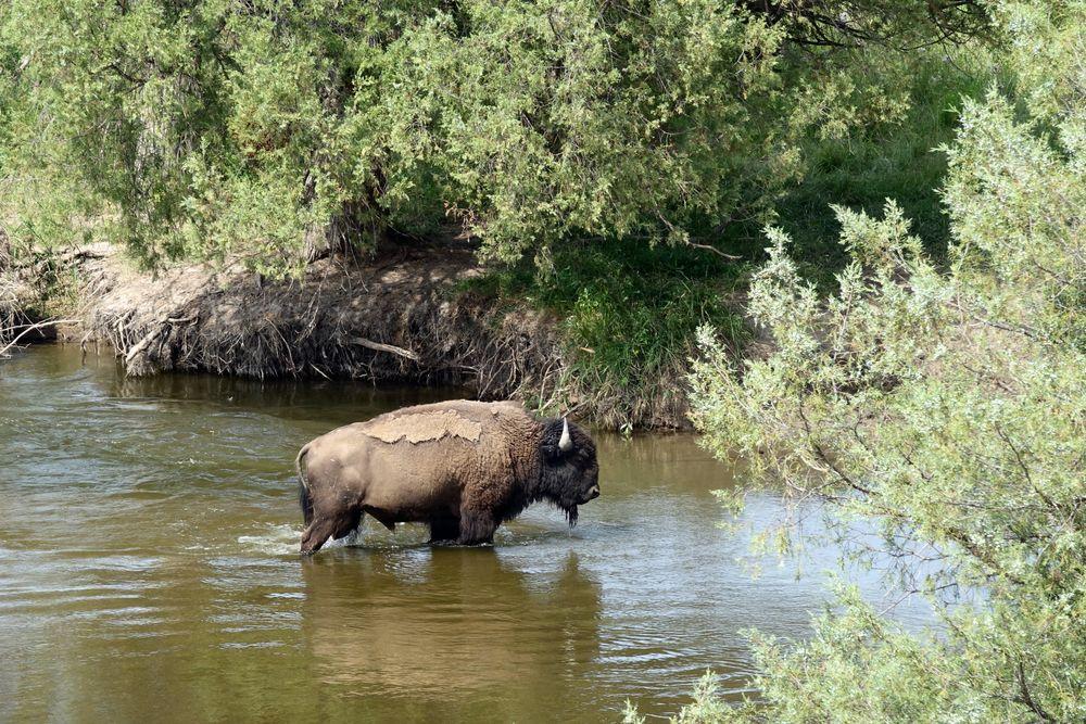 bain de bison