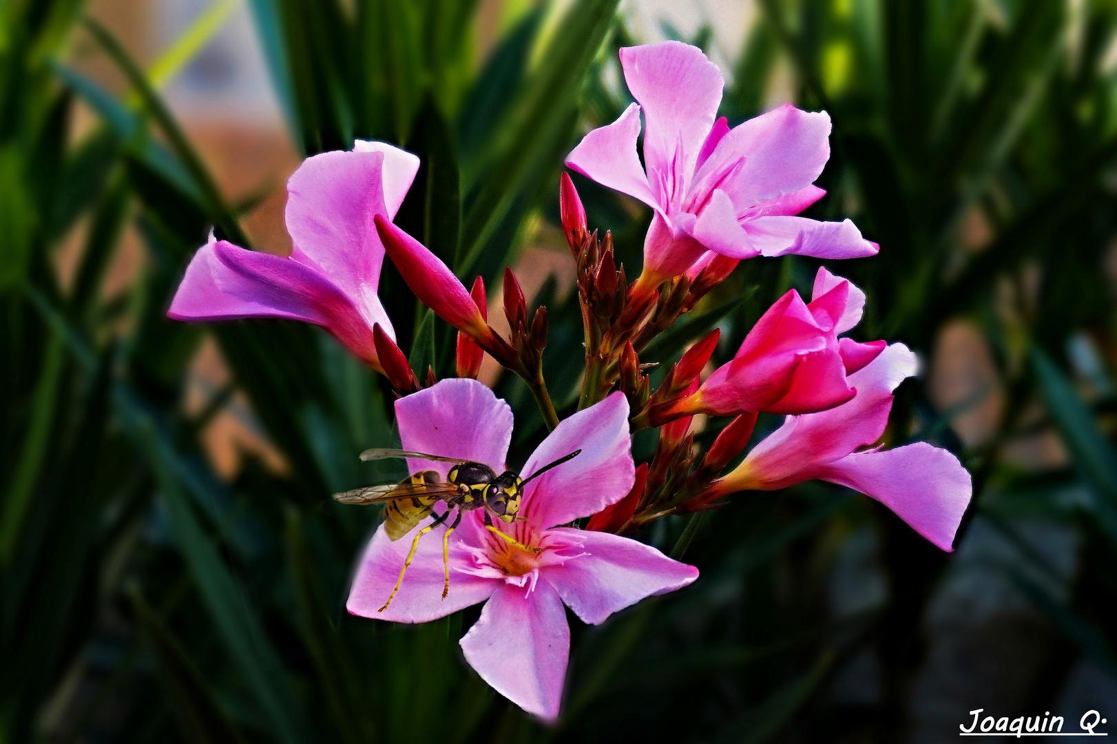 Baladre (Nerium Oleander )