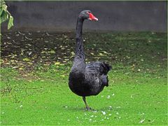 Balanceakt (Trauerschwan im Zoo Neuwied)