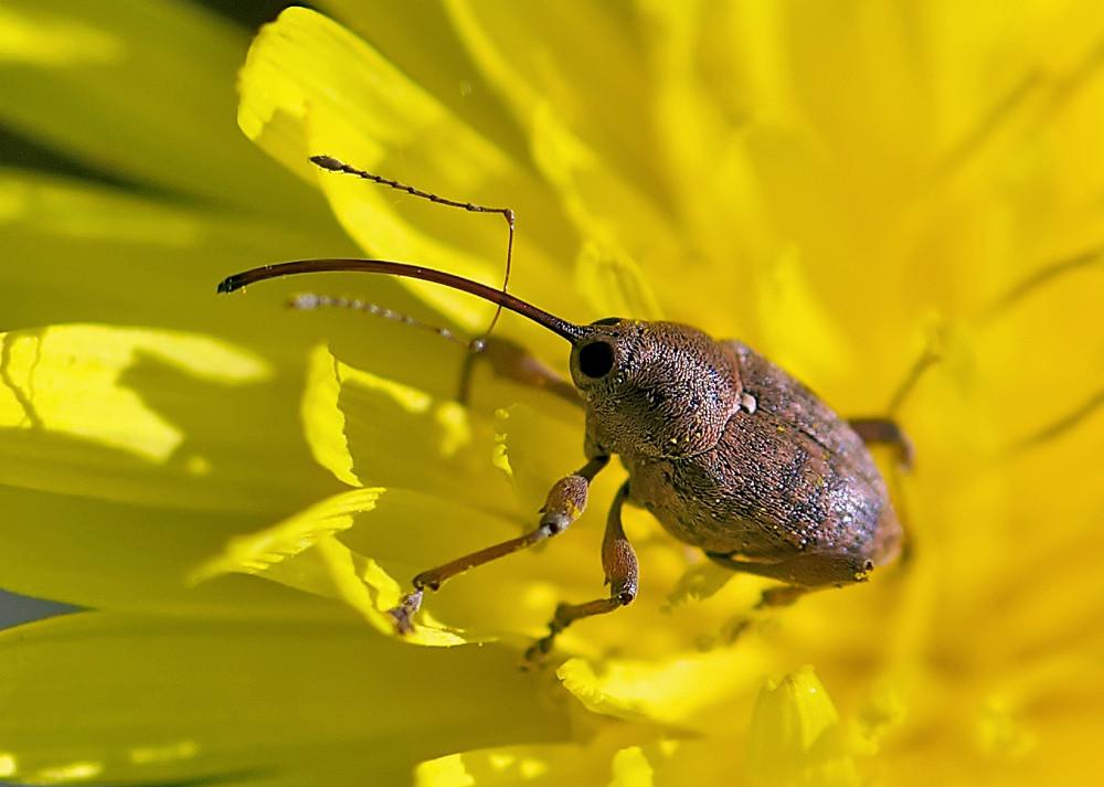 Balaninus nucum