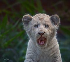 Bald bin ich der König der Löwen!