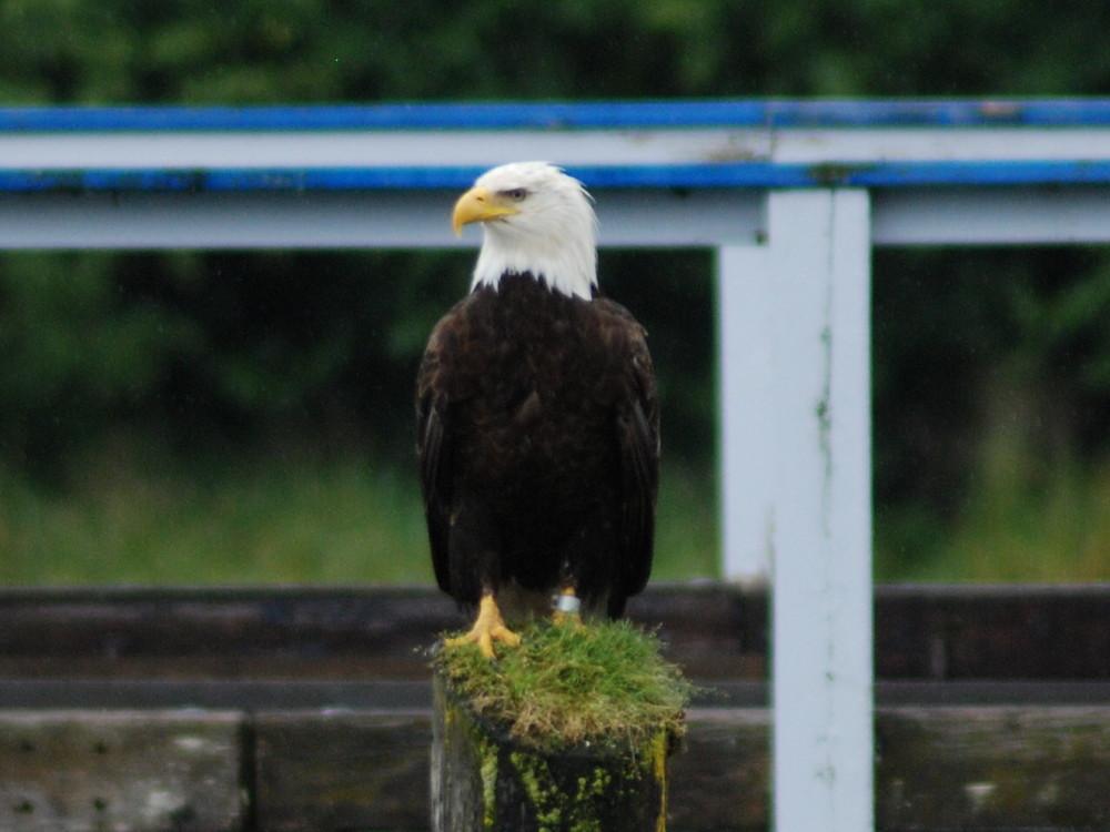 Bald Eagle-Ak