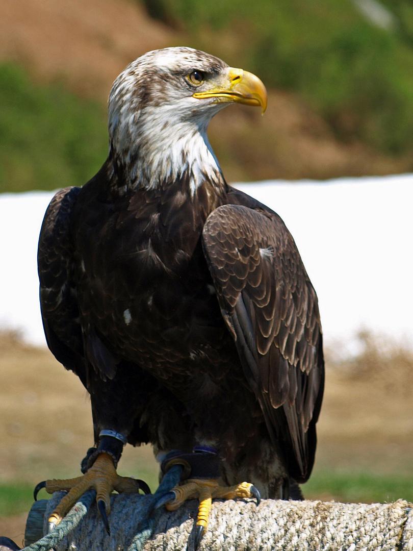 Bald Eagle II