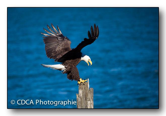 Bald Eagle im Anflug
