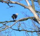 Bald Eagle In My Back Yard