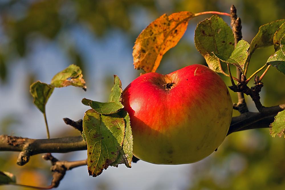 Bald gibt es wieder frischen Apfelsaft