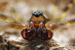 Baldachinspinne (Labulla thoracica Männchen)