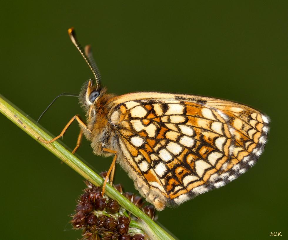 Baldrian-Scheckenfalter (Melitaea diamina) 1