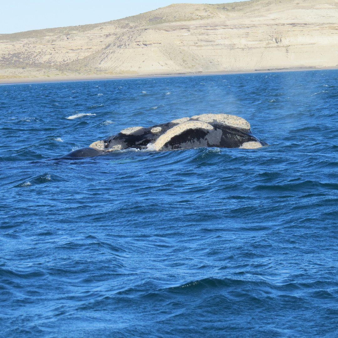 balena franca Penisola Valdes Argentina