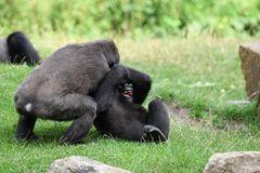 balgende Gorilla-Kinder