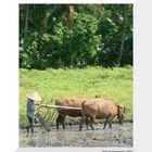 Bali: Arbeiten im Reisfeld