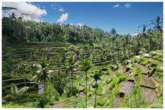 Bali: Reisfelder