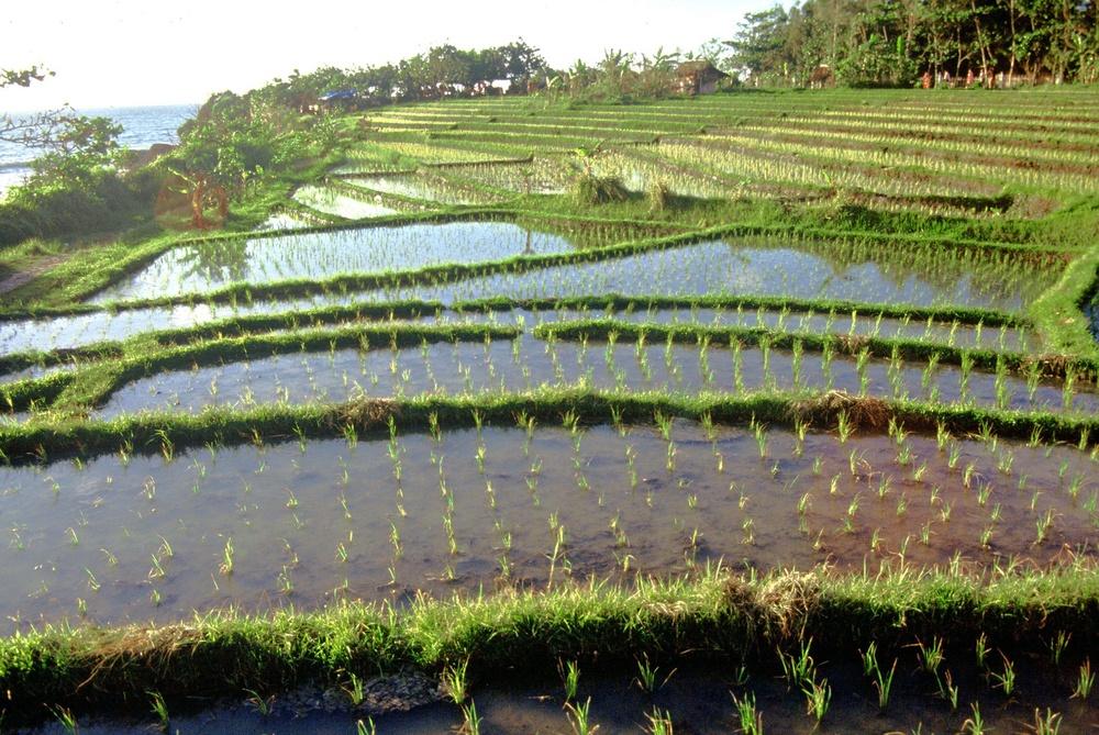 Bali, risaia