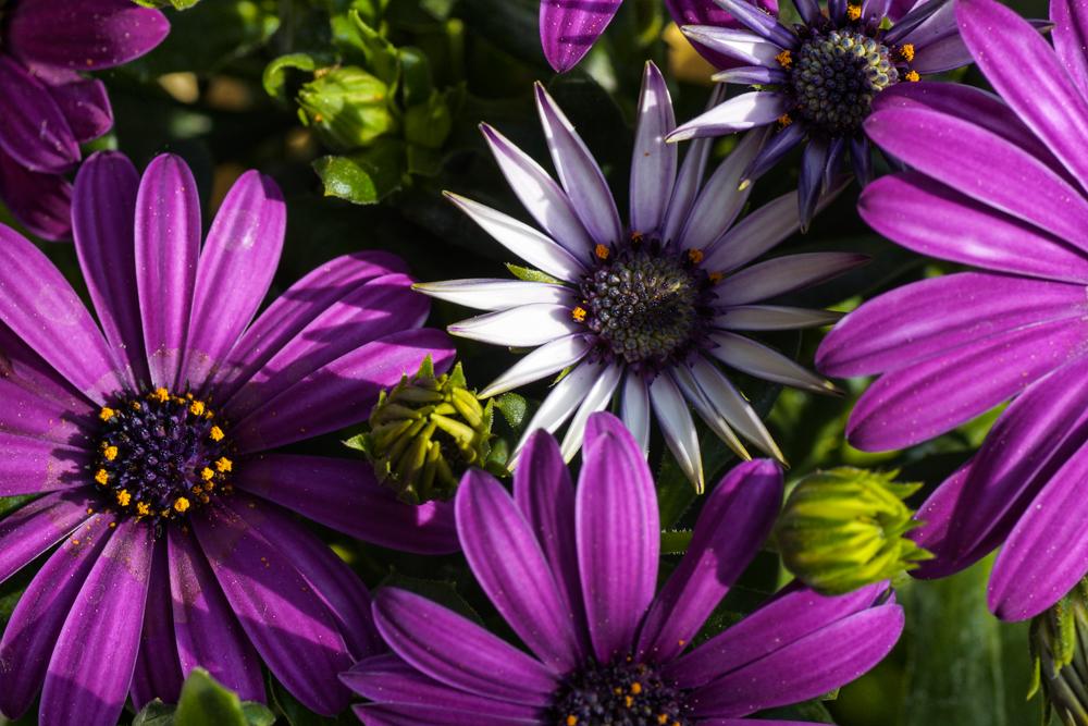 Balkonblumen Spanische Margerite Foto Bild Pflanzen Pilze