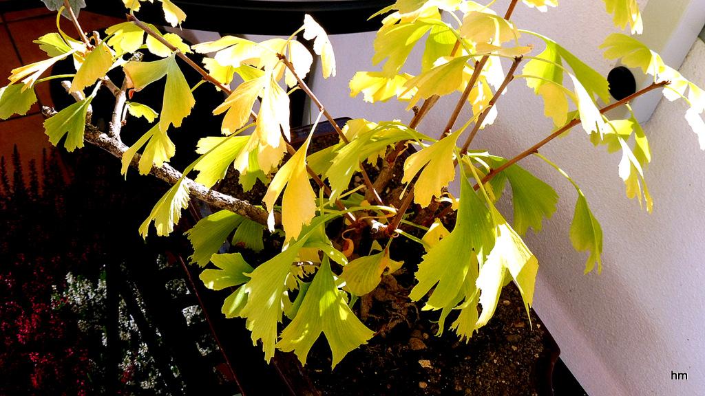 Balkonbonsai in Herbstfarben