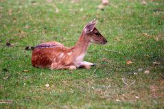 Bambi ??