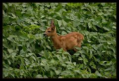 Bambi auf Futtersuche!!!