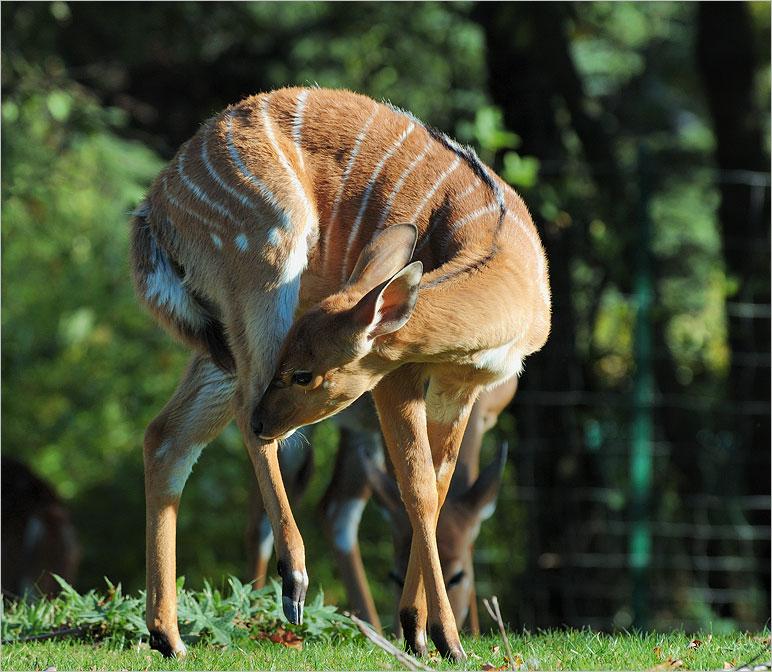 Bambi....