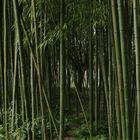 Bambous.....!