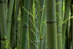 Bambus *