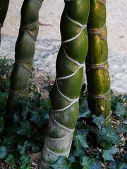 bambus I...
