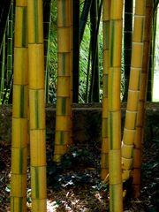 bambus II...