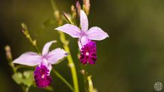 Bambus-Orchidee (Bamboo Orchid, Arundina graminifolia)