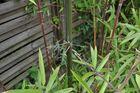 Bambus Seitensprossen