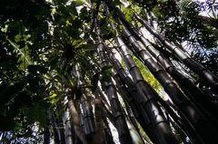 Bambus Wald Cuba