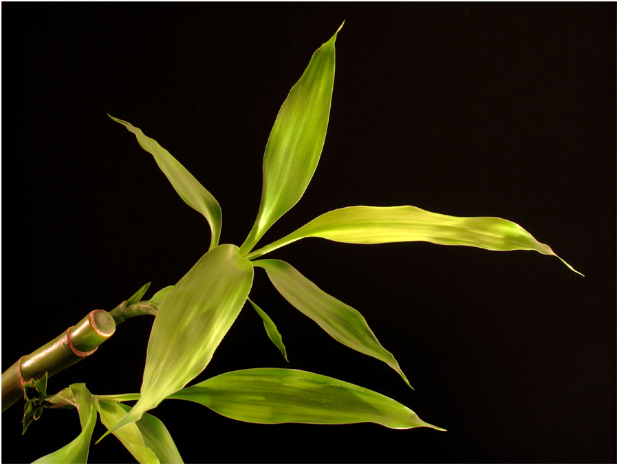 Bambusa (malaiisch)