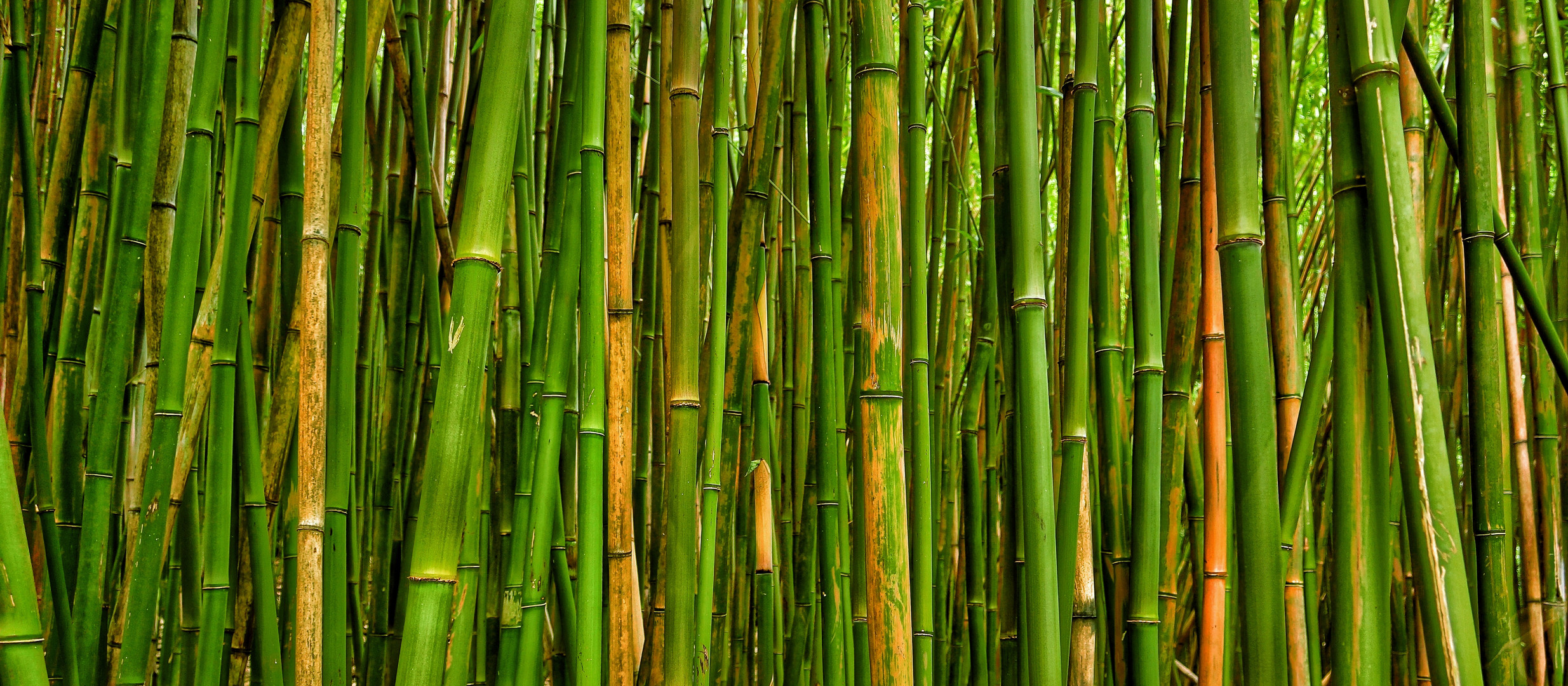 Bambuswald an der Road to Hana