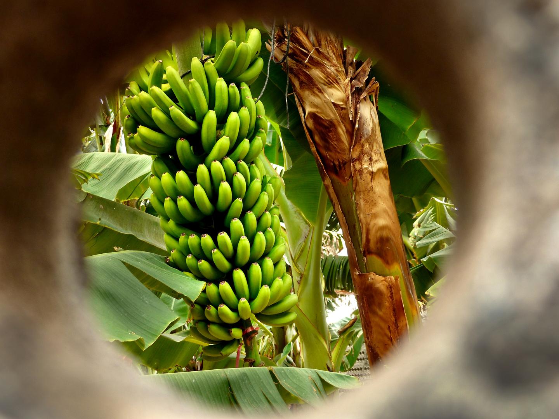 Bananen im Blick